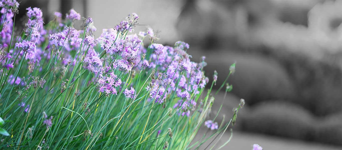 Purple flowers in a landscaped yard